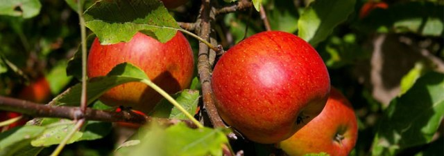 apple_tree_wide