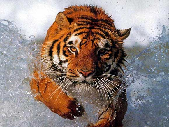 Elegant-Tiger-tigers-35203983-580-435