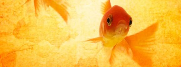i_2goldfish