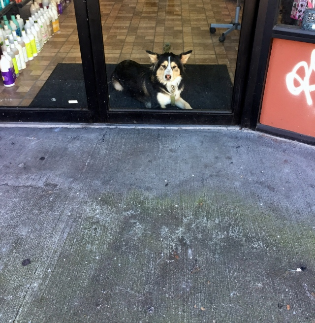 Barber shop corgi.