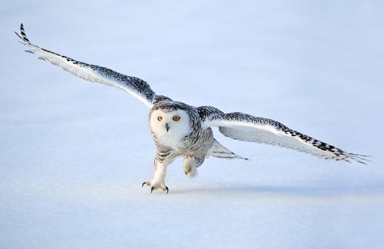 snowy-owl-landing-quebec